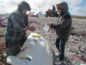 Paulatuk beluga monitor, Brandon Green (left), sampling a whale harvested in Darnley Bay.